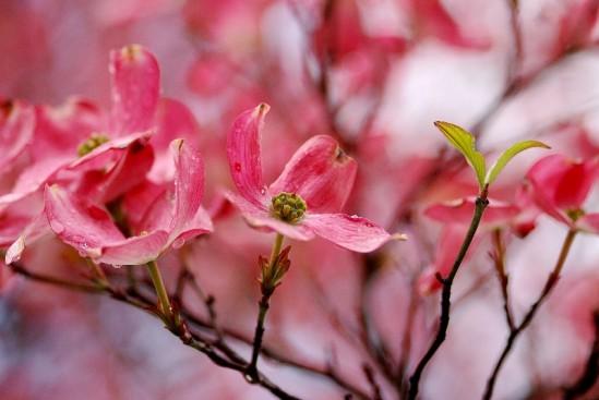 pink-dogwood2
