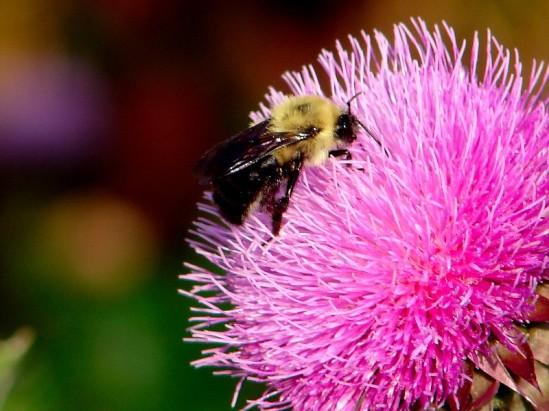 bee on a thistle bloom 6-26-06