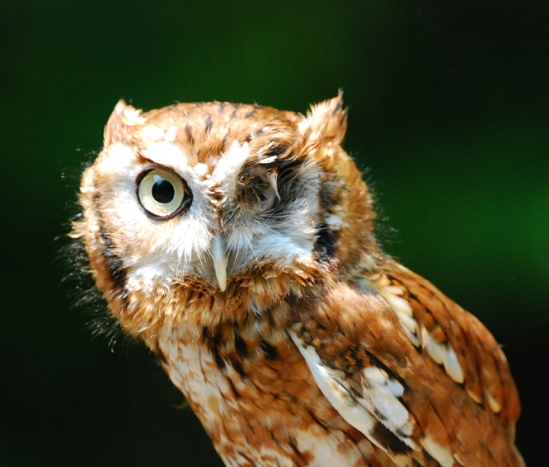 SCREECH OWL2 5-15-07