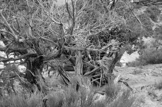 juniper b&w 2